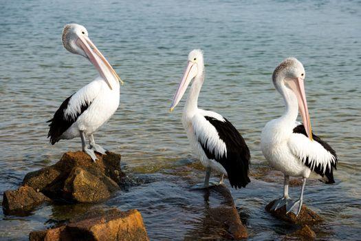 Photo free bird, pelicans, water
