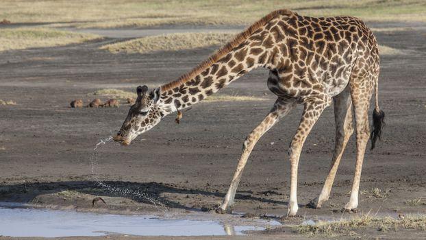 Photo free giraffe, water, Africa