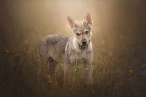 Photo free Czechoslovakia wolf, Czechoslovakia wolf dog, dog