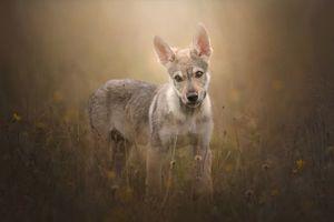 Фото бесплатно Чехословацкий волк, чехословацкий волк, собака