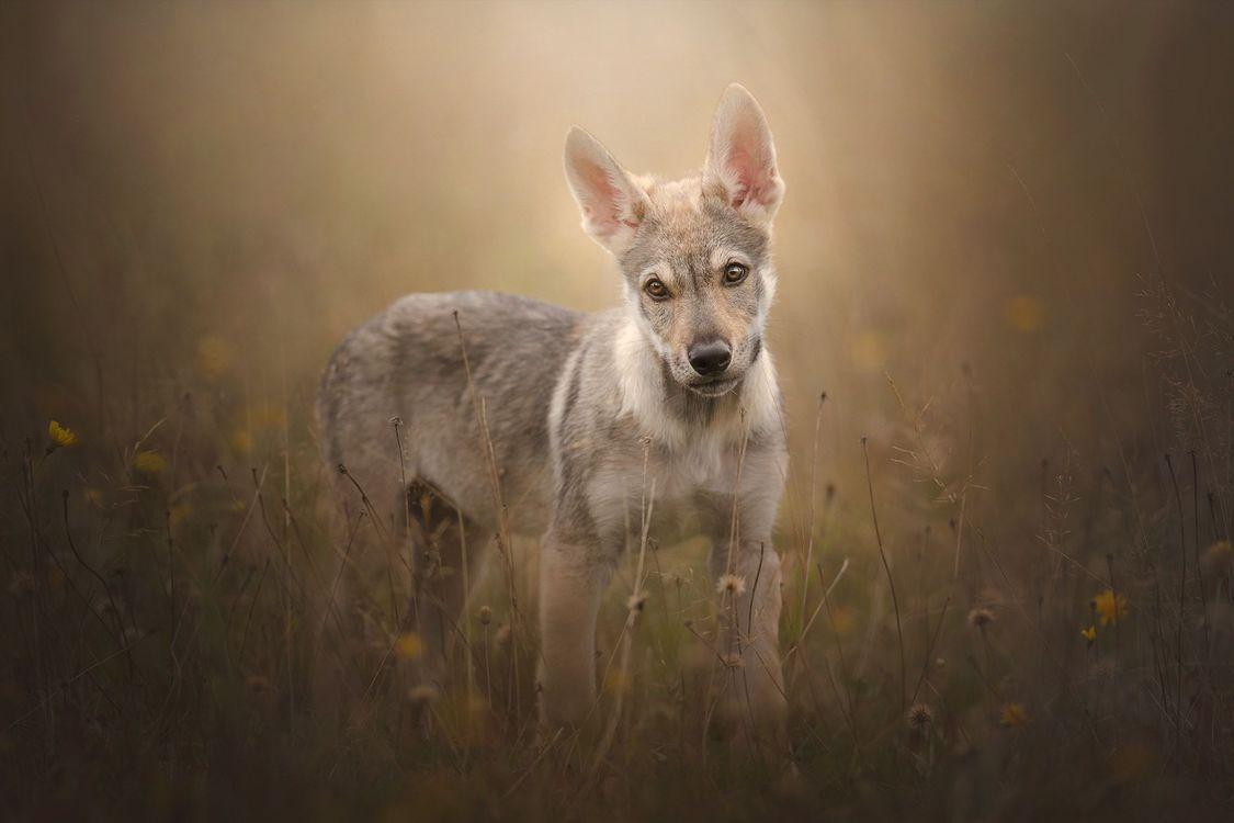 Фото бесплатно Чехословацкий волк, чехословацкий волк, собака - на рабочий стол