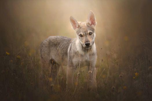 Заставки Чехословацкий волк, чехословацкий волк, собака