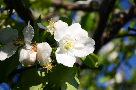 The petals of a blossoming Apple tree