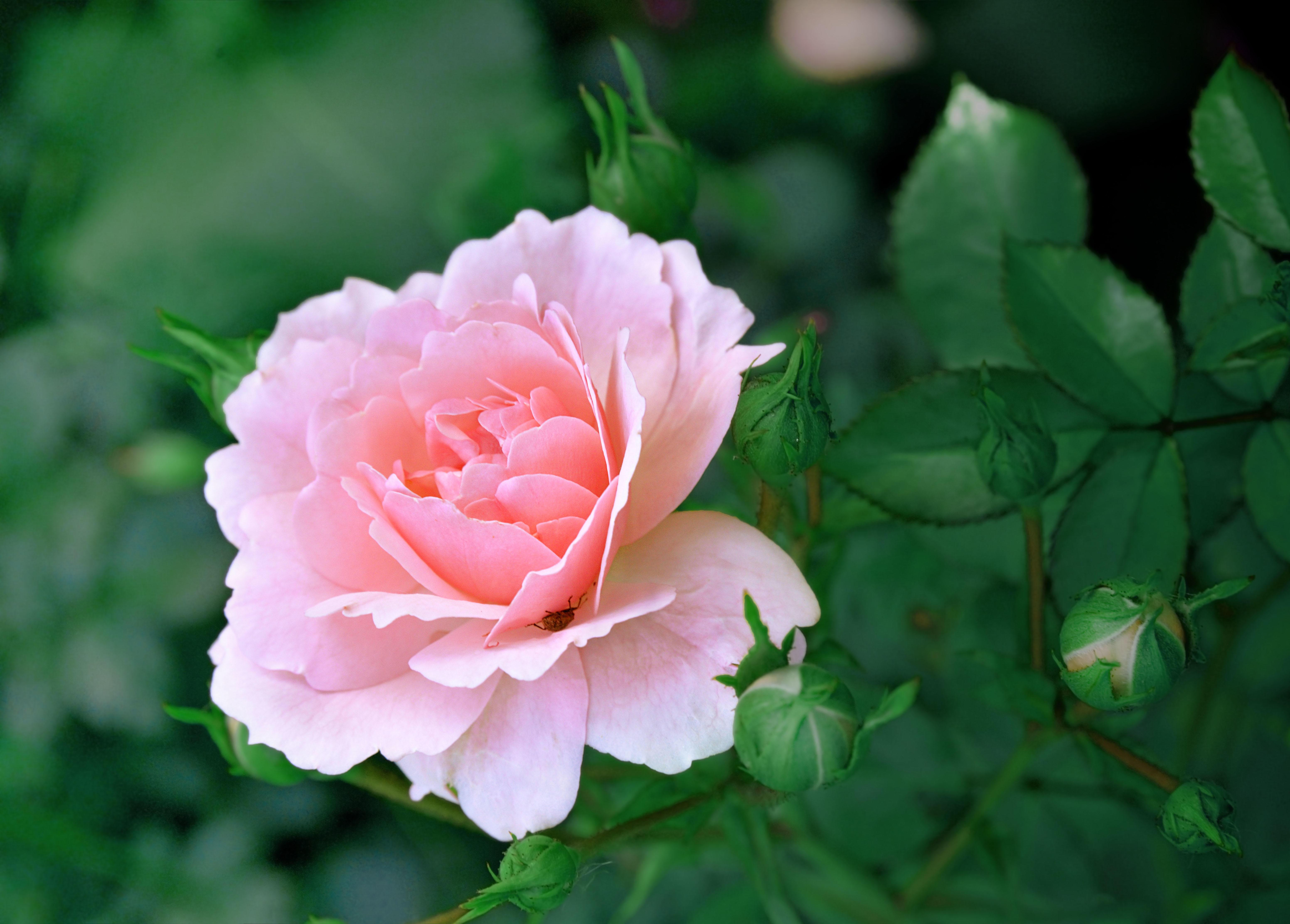 Обои роза, цветок, флора