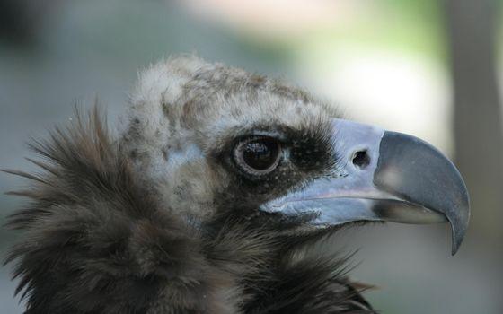 Photo free eagle, predator birds, beak
