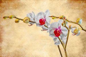 Обои цветок, орхидея, фон, art