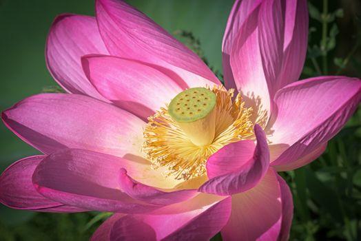 Colorful lotus - free photo
