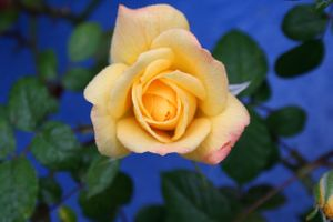 Фото бесплатно роза, розы, цветок