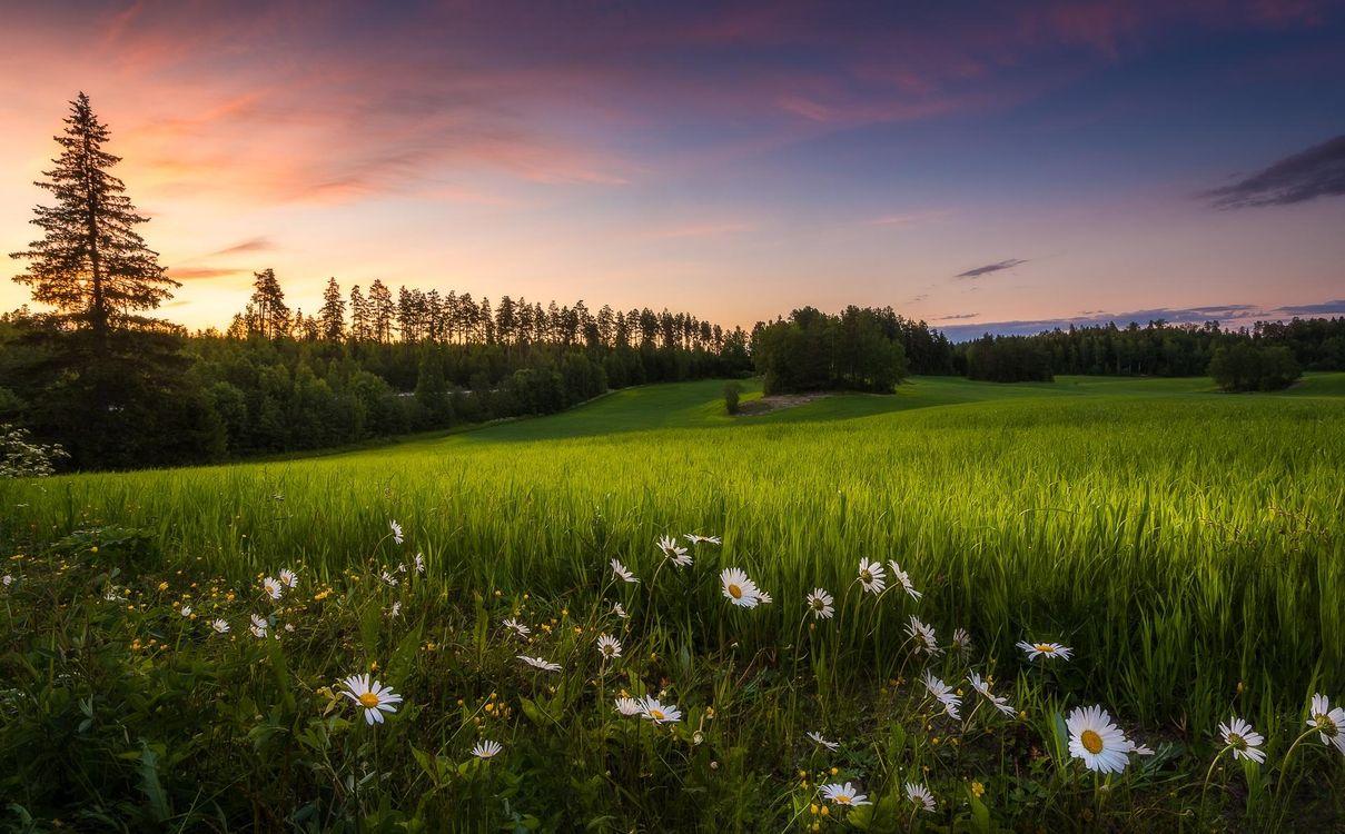 Картинка закат, поле, трава, цветы, ромашки, деревья, пейзаж на рабочий стол. Скачать фото обои пейзажи