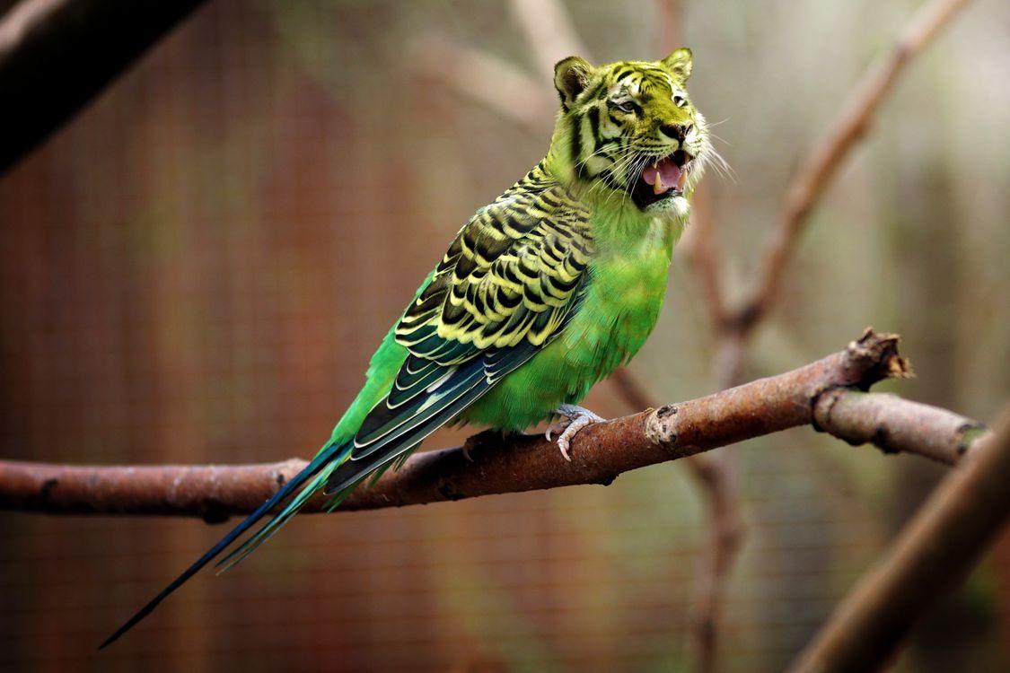 Картинка тигр, волнистый попугай, фотошоп, tiger, wavy parrot, photoshop на рабочий стол. Скачать фото обои юмор