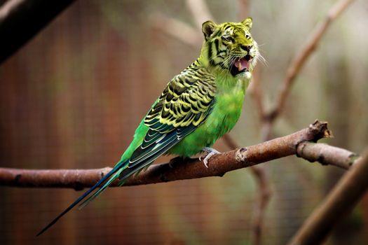 Бесплатные фото тигр,волнистый попугай,фотошоп,tiger,wavy parrot,photoshop
