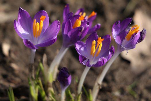 Фото бесплатно цветок, фиолетовый, крокусы