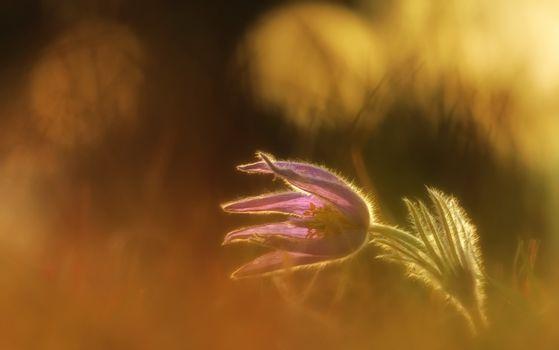 Фото бесплатно пурпурный цветок, размытый фон, утро