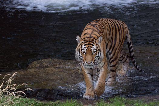 Photo free Amur tiger, reservoir, predator
