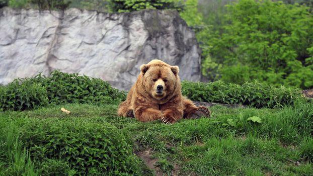 Фото бесплатно медведь, лежит на лужайке, трава