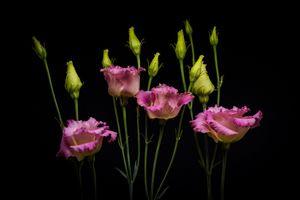 Бесплатные фото Эустома,Eustoma,Лизиантус,Lisianthus,цветок,цветы,флора