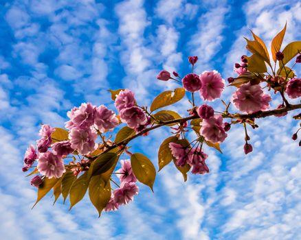Заставки цветущая ветка, небо, облака