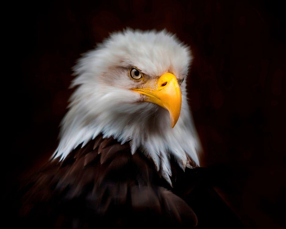 Фото бесплатно Королевский Портрет, Белоголовый Орл, птица - на рабочий стол