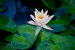 Фото бесплатно Water Lilies, водяная лилия, водяные лилии, водоём, цветы, цветок, флора, водяная красавица, красивый цветок, красивые цветы