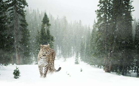 Заставки леопард, лес, снег