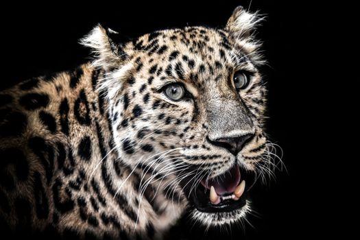 Заставки леопард, хищник, клыки