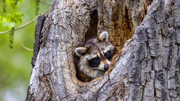 Фото бесплатно животные, еноты, глядя
