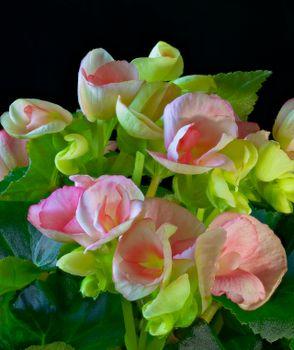 Photo free flowers, begonia, closeup