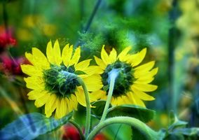 Photo free sunflowers, flora, colorful