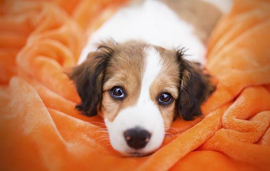 Фото бесплатно щенок, одеяло, лежа