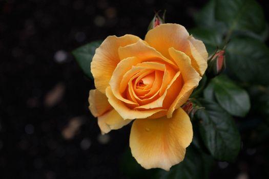 Желтые розы · бесплатное фото