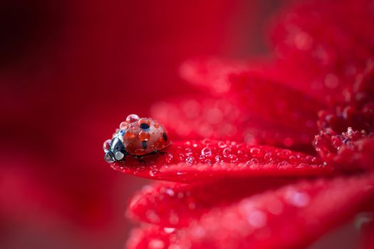 Фото бесплатно ladybug, drops of water, red