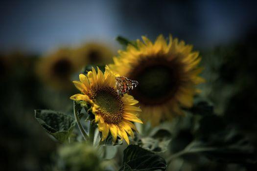Фото бесплатно бабочки, желтый, подсолнухи