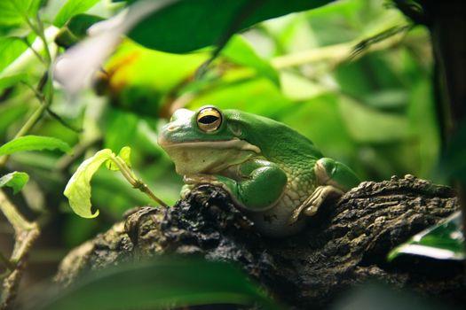 Photo free leaves, amphibian, green frog