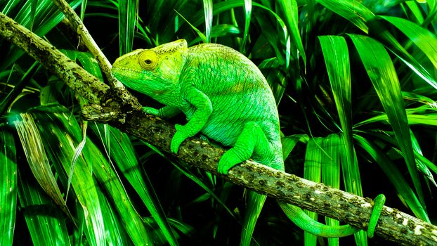 Photo free chameleon, one of the most unique and beautiful lizards, Lizard