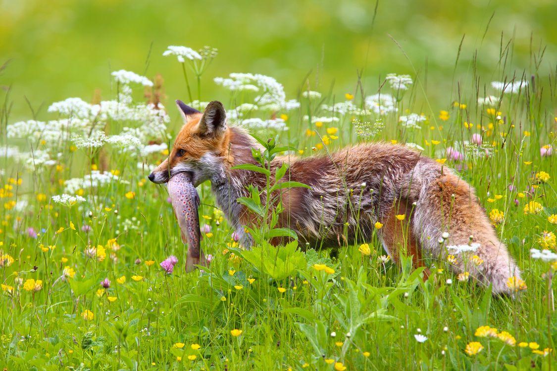 Фото бесплатно лиса, щука, охота - на рабочий стол