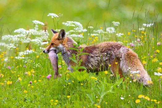 Photo free Fox, pike, hunt
