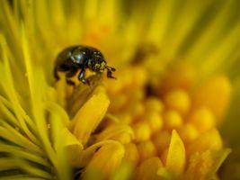 Бесплатные фото Макрос,насекомое,цветок,пчела,Жук,Пчела,Рыжий