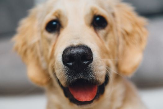 Photo free golden retriever, muzzle, cute