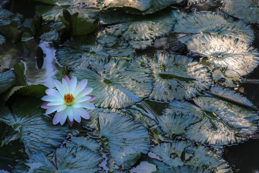 Pictures water lily, water lilies watch free