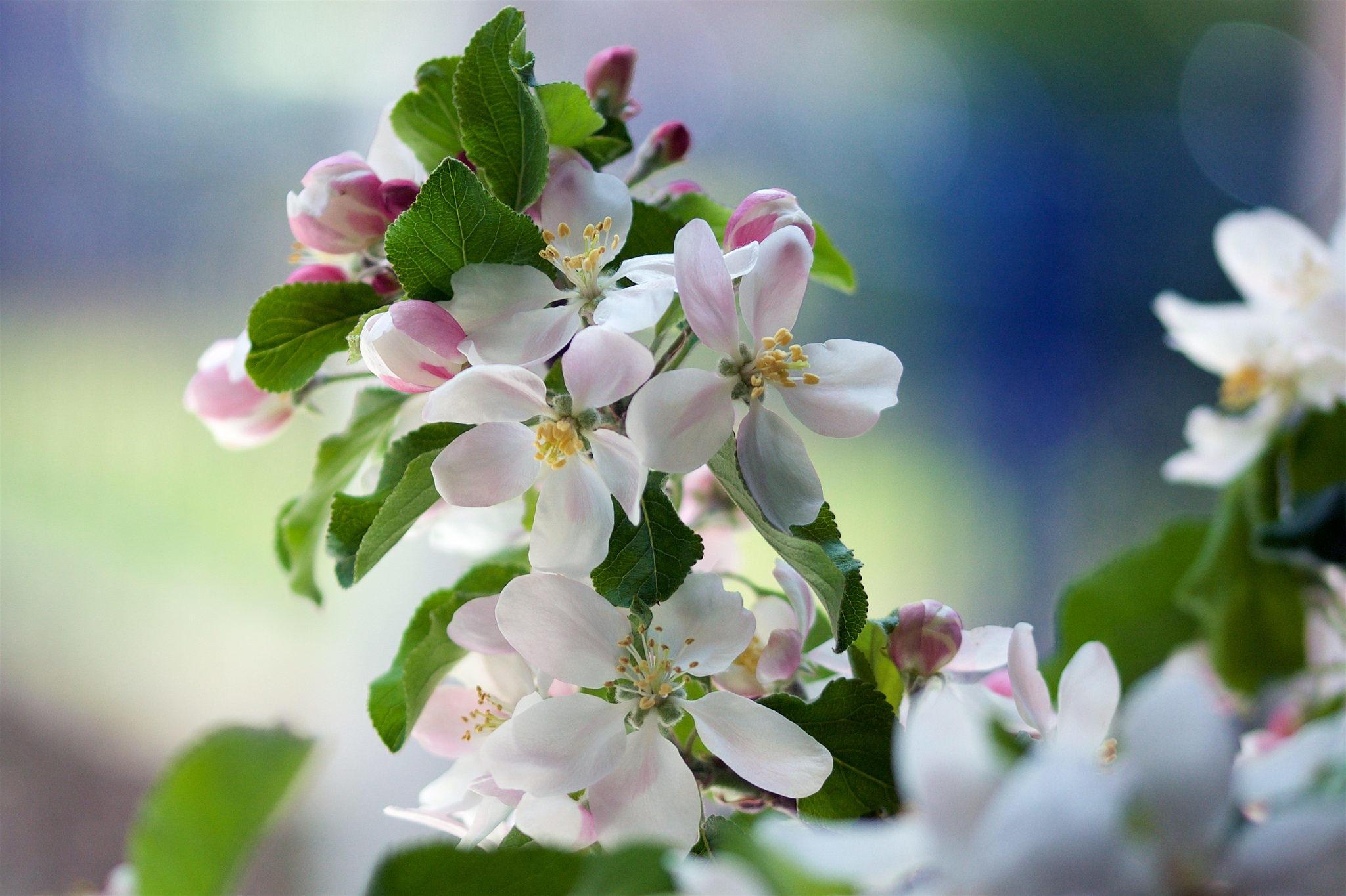 Картинки цветущая яблоня на рабочий стол, картинка серые стены