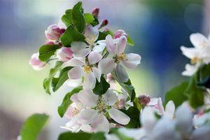 Бесплатные фото яблоня,ветка,цветы,флора,весна,цветение
