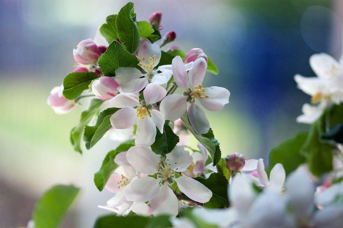 Фото бесплатно яблоня, ветка, цветы, флора, весна, цветение, цветы