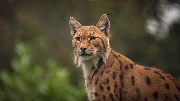 Фото бесплатно рысь, большие кошки, хищник