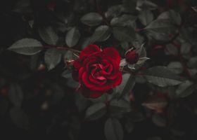 Фото бесплатно роза, красный, цветок