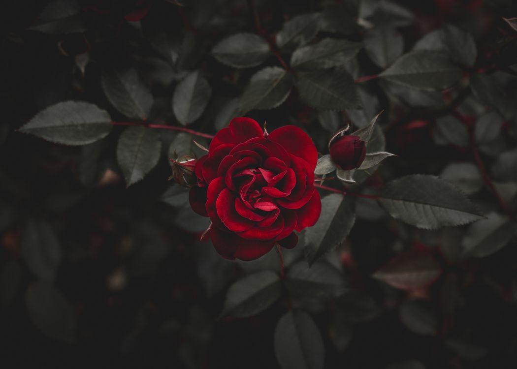 Фото бесплатно роза, красный, цветок, бутон, rose, red, flower, bud, цветы