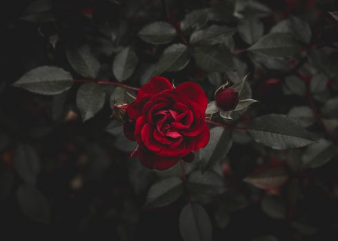 Photo free rose, red, flower