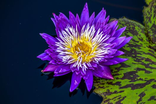 Beautiful pictures of water lilies, water lily