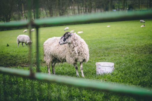 Заставки овцы, ферме, поле