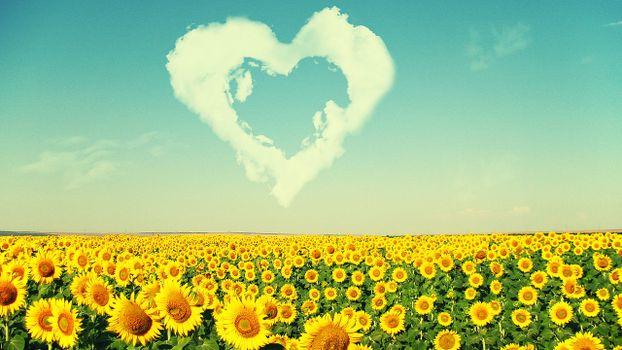 Photo free field, sunflowers, serdechko