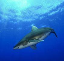 Бесплатные фото Морские обитатели,Акулы,Акула,море,Подводный мир